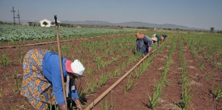 Women lay pipes for a drip irrigation system in South Africa. Photo: Graeme Williams / IWMI